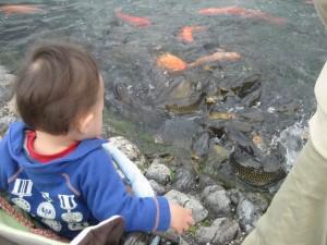 鯉に餌をやっているところ